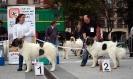 XI Topaketa: Concurso Monográfico del Mastín del Pirineo_12