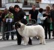 XI Topaketa: Concurso Monográfico del Mastín del Pirineo_33